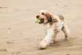 Dog On A Beach With Ball On Mouth Royalty Free Stock Photography - 66350057