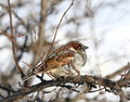 Sparrow Stock Photos - 66353243