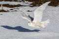 Snowy Owl Stock Images - 66377554