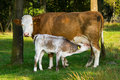 Mother And Baby Cow Stock Image - 6646431