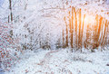 October Mountain Beech Forest With First Winter Snow Royalty Free Stock Image - 66451516