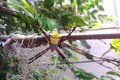 Yellow Spider Hanging Royalty Free Stock Photo - 66469405
