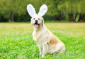 Happy Golden Retriever Dog With Rabbit Ears Sitting On Grass Stock Photos - 66483373
