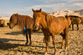 Horses In Gobi Desert, Mongolia Stock Images - 6656344
