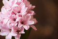 Pink Hyacinth Flower Royalty Free Stock Images - 66512899