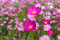 Pink Cosmos Flowers Blooming In The Garden . Royalty Free Stock Photos - 66564458