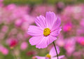 Pink Cosmos Flowers Blooming In The Garden . Stock Image - 66564631