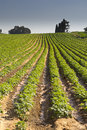 Strawberries Furrows In Elyachin, Israel Royalty Free Stock Images - 66573569