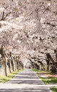 People On Alley Under Blossoming Cherry Trees Royalty Free Stock Image - 66598196