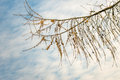 Larch Branch With Cones Against A Cloudy Sky Royalty Free Stock Photos - 66605058