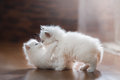 Ragdoll Blue Point Two Little Kittens Royalty Free Stock Photo - 66622965