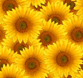 Seamless Pattern Flower Sunflower Royalty Free Stock Images - 66624439