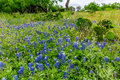 Pear Cactus In The Middle Of Texas Bluebonnet Wildflowers Stock Photos - 66626553