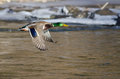Mallard Duck Flying Over The Frozen Winter River Royalty Free Stock Images - 66629689