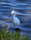 Little Egret In The River Stock Photography - 66640452