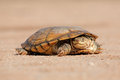 Helmeted Terrapin Royalty Free Stock Photography - 66643357