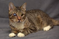 Tabby Cat With Cataracts In The Eye Stock Photography - 66656412