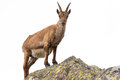 Ibex Perched On Rock Isolated On White Background Royalty Free Stock Image - 66658856