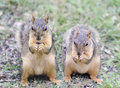 Two Red Squirrels Eating Sunflower Seeds Royalty Free Stock Image - 66688776