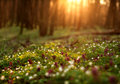 Flowering Forest On Sunset , Spring Nature Background Royalty Free Stock Image - 66769046