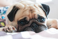 Close Up Face Of Cute Pug Puppy Dog Sleeping Rest On The Bed Royalty Free Stock Image - 66778056