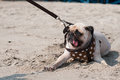 Close-up Cute Dog Pug Wink Eye Fear And Afraid Water Sea Beach When People Try To Pull Pug To Play Swim On Sand Royalty Free Stock Image - 66778276