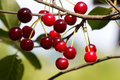 Cherry Tree Royalty Free Stock Images - 6680919