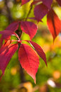 Red Ivy Stock Image - 6687101