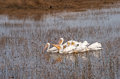 Group Of White Pelicans Stock Photo - 66842710