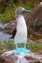 Blue-footed Booby On North Seymour Island, Galapagos National Pa Stock Image - 66853381