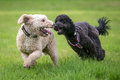 Dogs Running And Playing Royalty Free Stock Image - 66881376