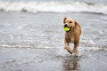 Spanish Water Dog With Ball In Ocean Stock Image - 66884391