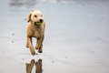 Spanish Water Dog With Ball At The Beach Royalty Free Stock Image - 66884496
