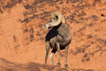 Desert Bighorn Sheep Ram Looking Back Royalty Free Stock Photo - 66893785