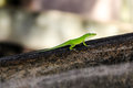 Green Chameleon Lizard Brown Wood Royalty Free Stock Photography - 66940587