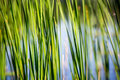 Green Reed On River Stock Photos - 66943733