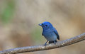 Blue Bird Called Black Naped Monarch Sitting On A Perch Royalty Free Stock Images - 66996409