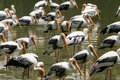 Painted Storks Stock Photos - 674963