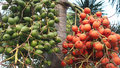 Red And Green Of Bunch Of Betel Nuts On Tree. Bunch Of Green And Red Ripe Tropical Betel Nut Or Areca Palm Catechu On Tree Stock Photography - 67005732
