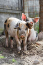 Two Adorable Piglets Royalty Free Stock Photography - 67018737