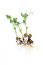 Organic Pea Sprouts In White Backround. Royalty Free Stock Photography - 67038557