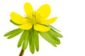 Isolated Yellow Blossom Of Winter Aconite Stock Photos - 67038713