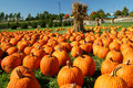 Pumpkin Patch Royalty Free Stock Photography - 6713917