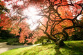 Japanese Maple Stock Photography - 6719732