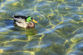 The Mallard Duck On The Water Royalty Free Stock Images - 67159779