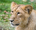 Indian Lion2 Royalty Free Stock Photos - 6723558