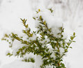 Boxwood Bush Winter Day In The Snow Royalty Free Stock Image - 67203946