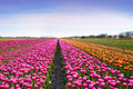 Fantastic Landscape With Rows Of Tulips In A Field In Holland Stock Photos - 67206193