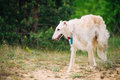 White Russian Wolfhound Dog, Borzoi, Sighthound In Spring Summer Stock Image - 67210291