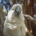 Cockatoo Royalty Free Stock Image - 67232166